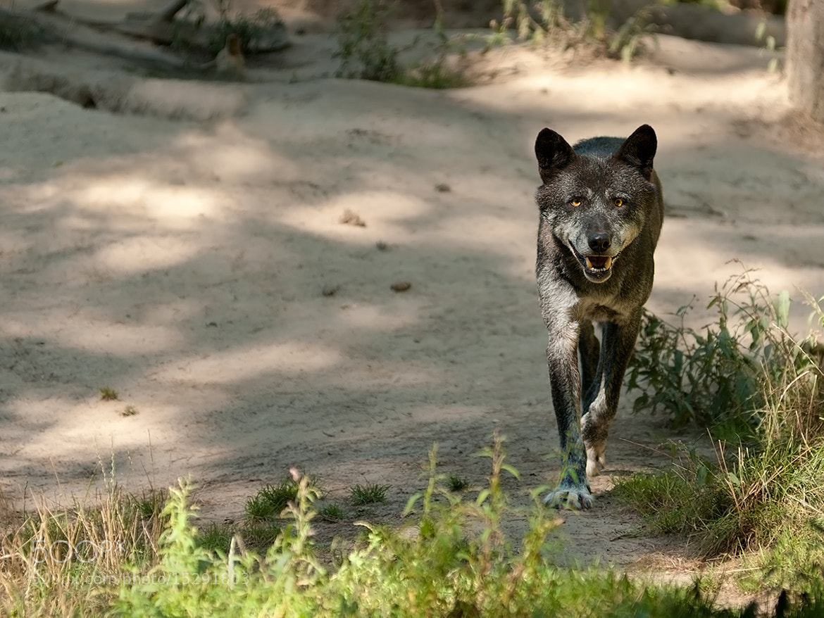 Photograph Black Timber Wolf by Rob Janné on 500px