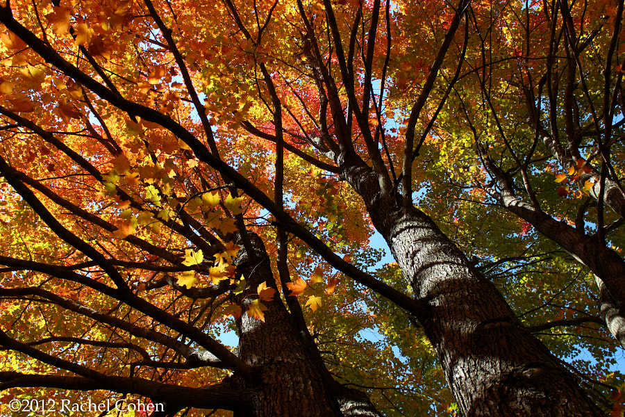 """""""Beneath Autumn's Splendor""""  Of gold and yellows,of reds and orange. Beneath fall's canopy of leaves we're re-born.          Rachel Cohen"""