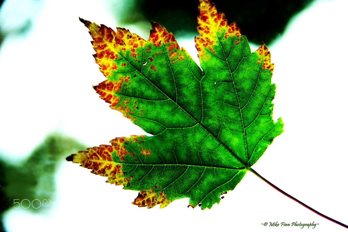 Photograph Fall Maple leaf 0001 by Mike Finn  Photography on 500px