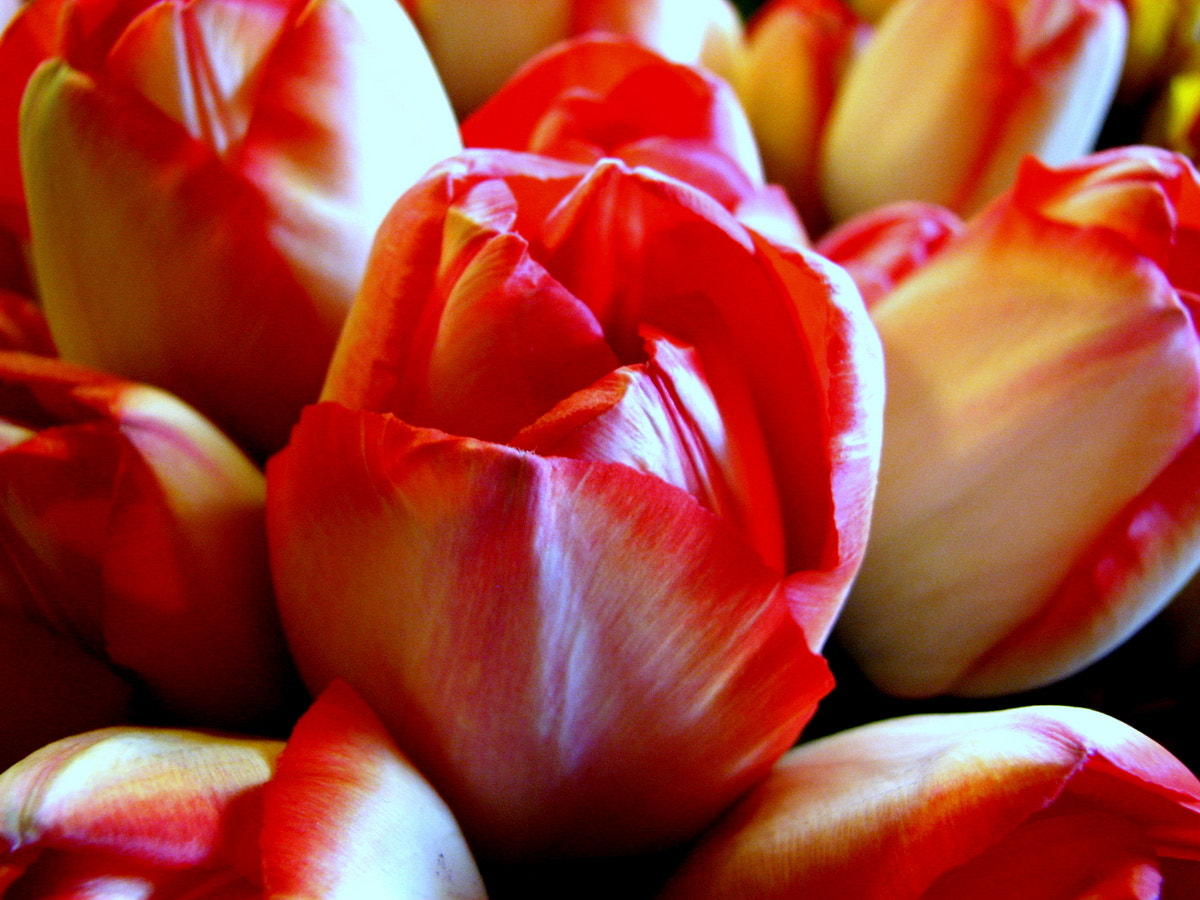 Photograph Orange and White Tulips by Rhonda  on 500px