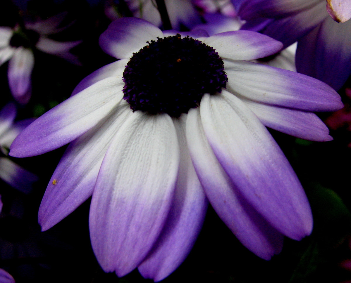 Photograph Purple and white Daisy by Rhonda  on 500px