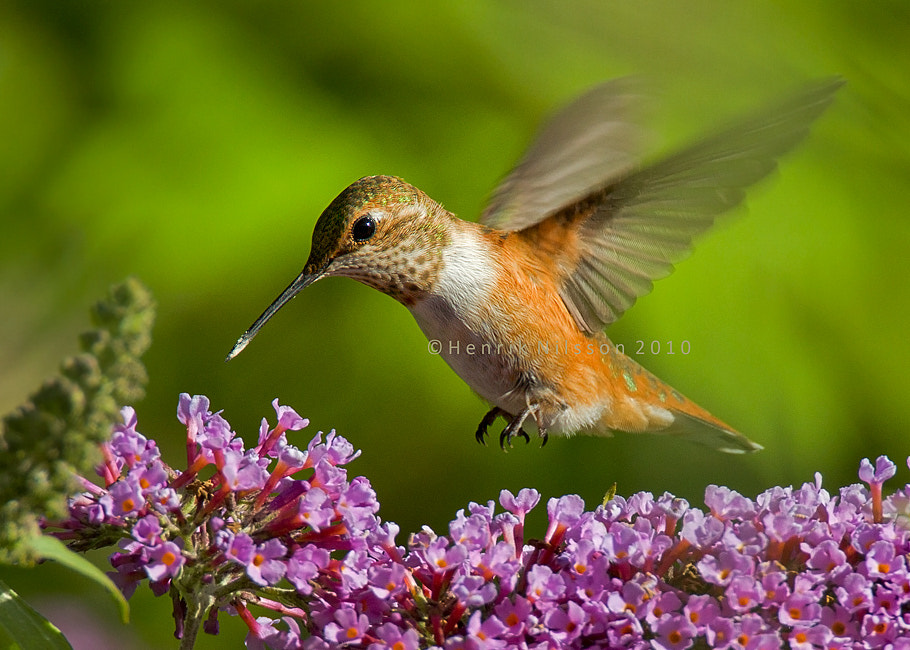 Photograph Hummer Hover by Henrik Nilsson on 500px