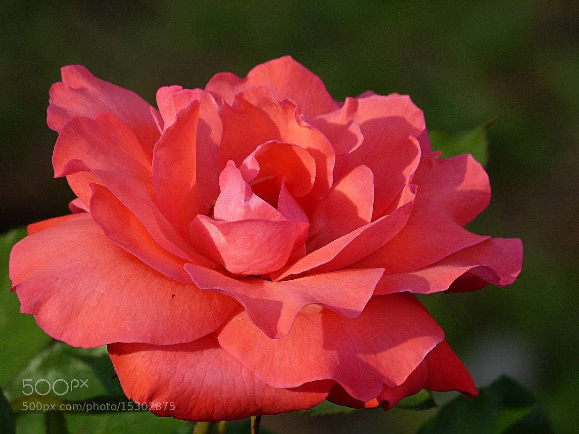 Photograph The Rose by Pedro Henrique Evangelista on 500px
