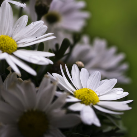 Daisies, Sony ILCE-6000, Sigma 60mm F2.8 DN