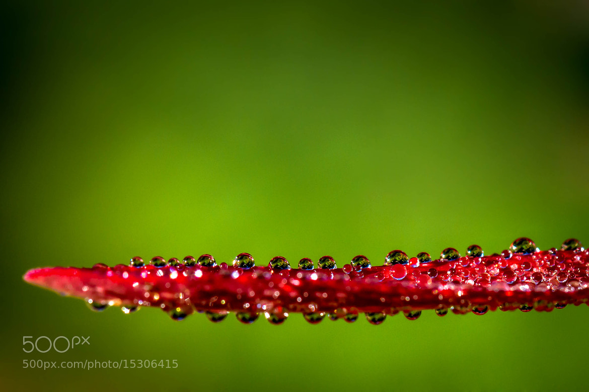 Photograph The red drop leaf by Thorsten Scheel on 500px