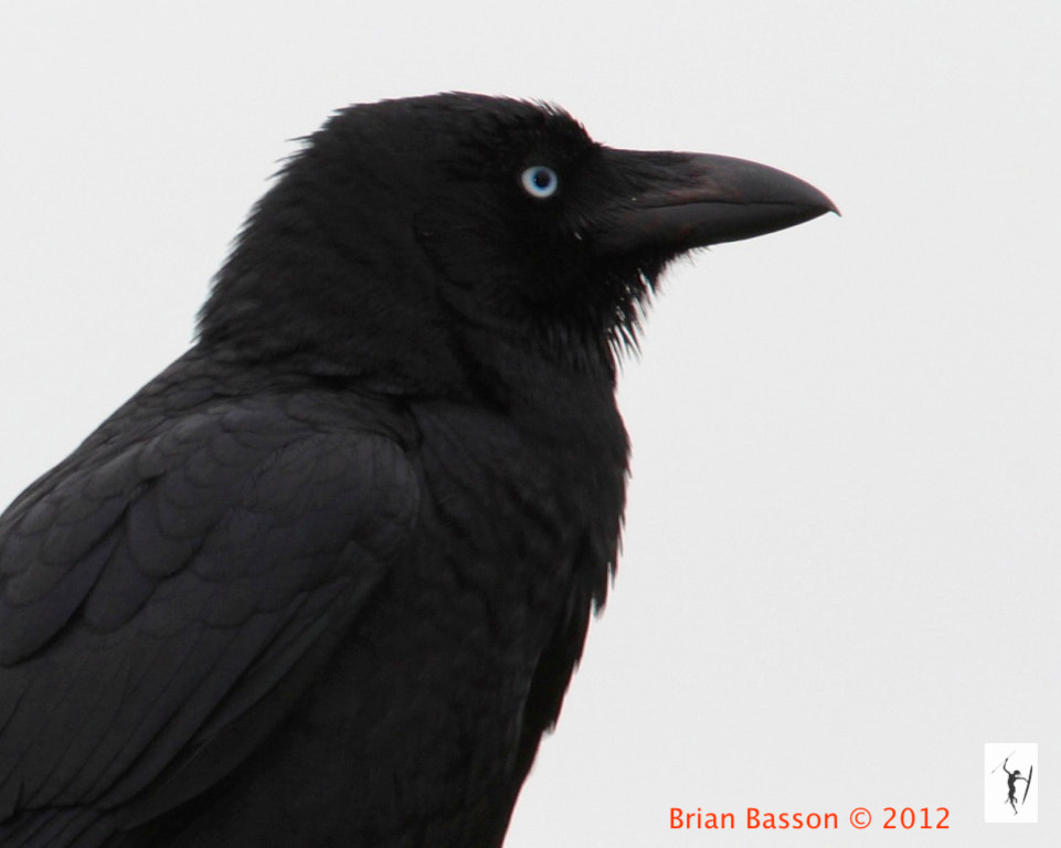 Photograph Torresian or Australian Crow in Profile by Brian Basson on 500px