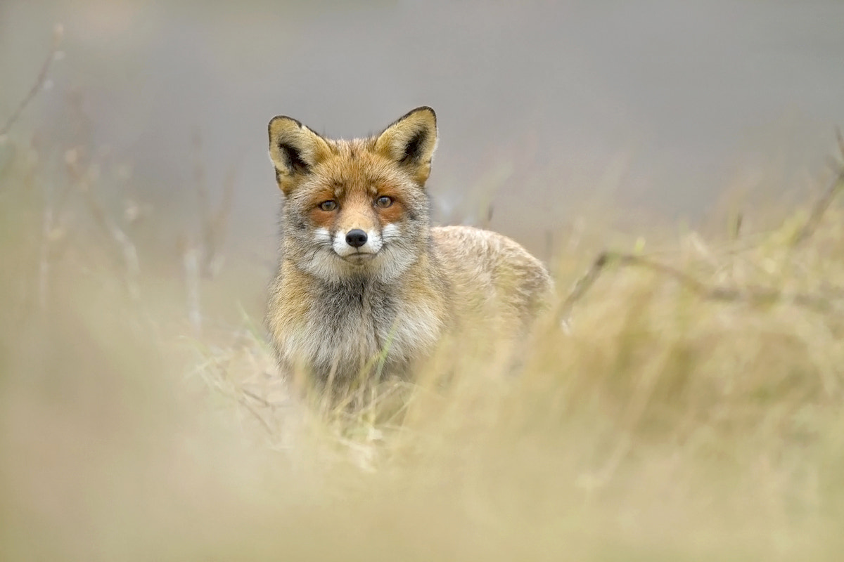 Photograph Red Fox by Andy Aubri on 500px