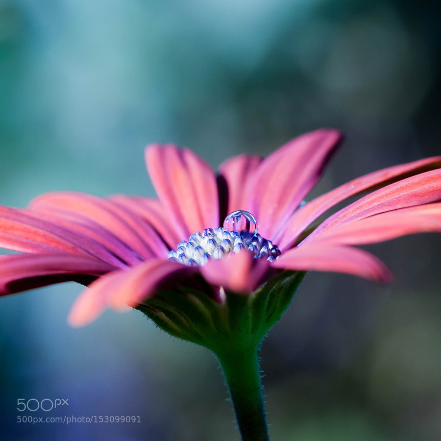 New on 500px : Daisy with a clear drop by ryanpark by ryanpark