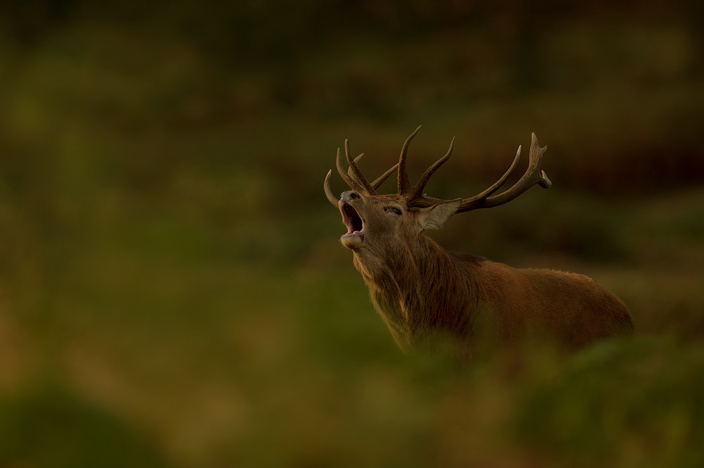 Photograph Roaring Stag by Edwin Kats on 500px
