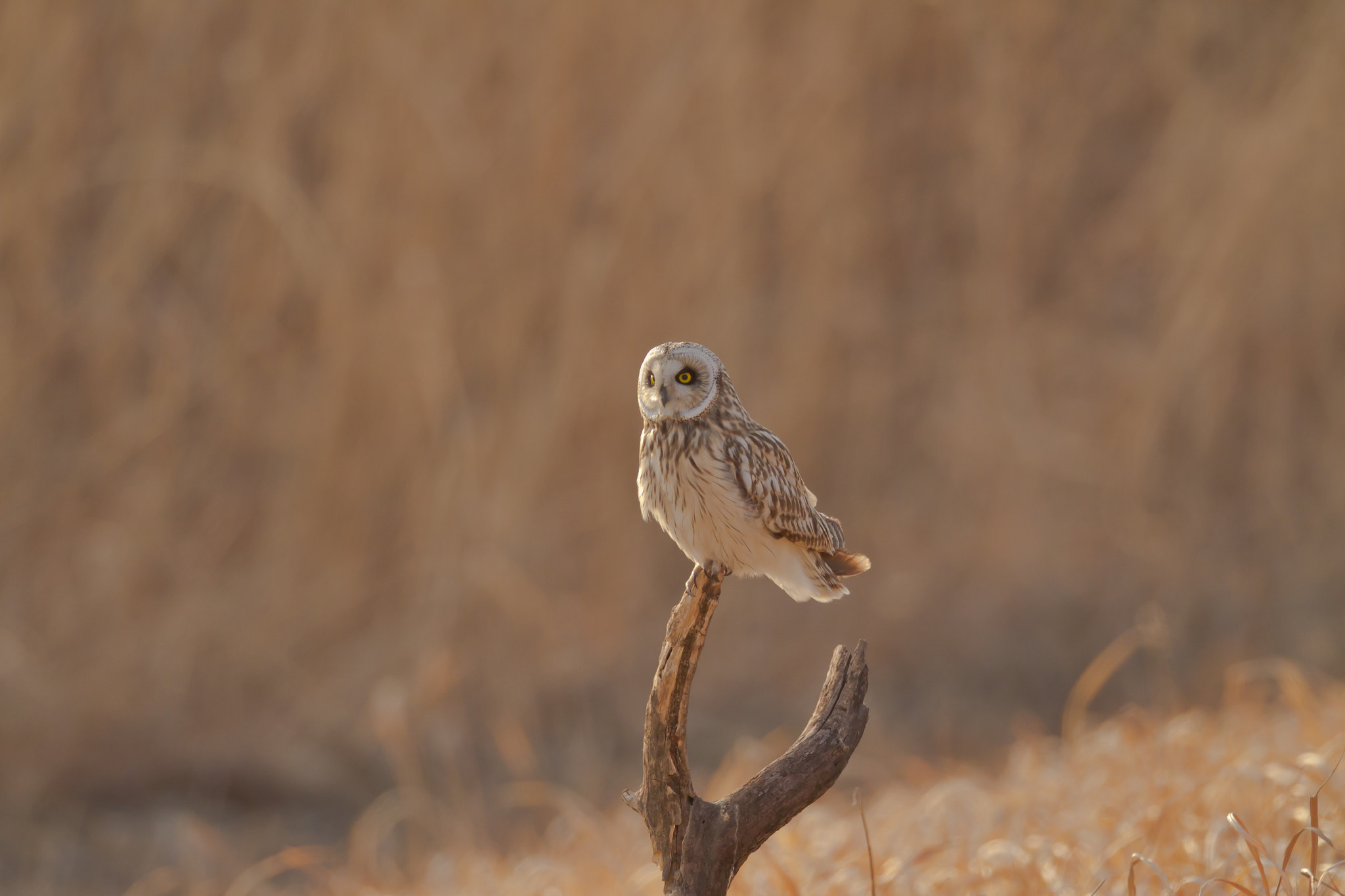 Photograph Short-eared Owl by ogulee yu on 500px