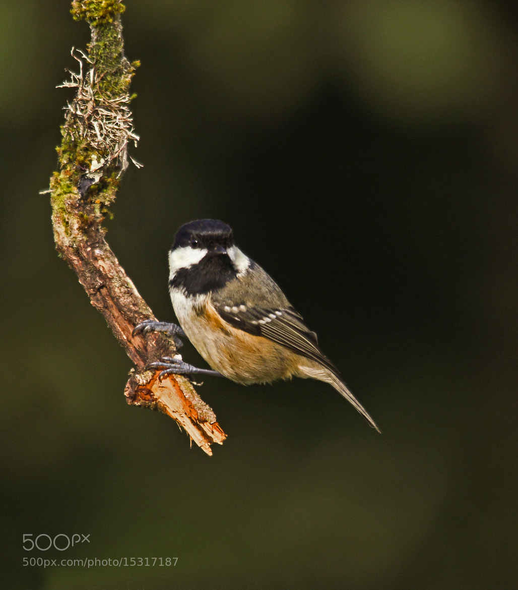 Photograph coal tit by Robert Booth on 500px
