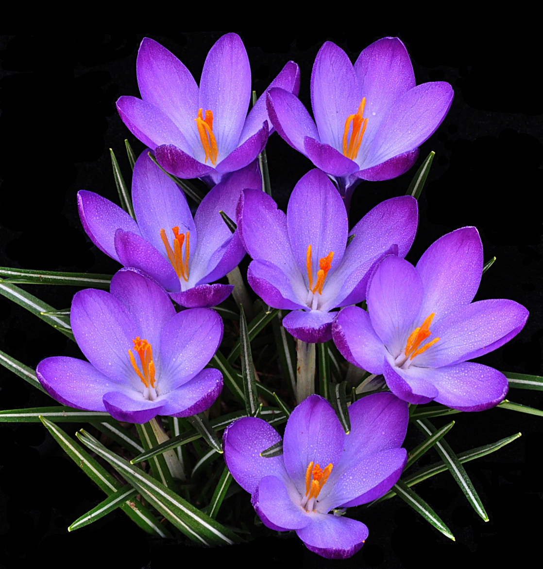 Photograph Crocuses by John Leigh on 500px