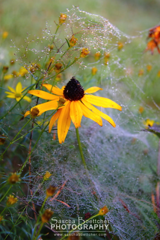 Photograph Yellow Web Flower I by Sascha Böttcher on 500px