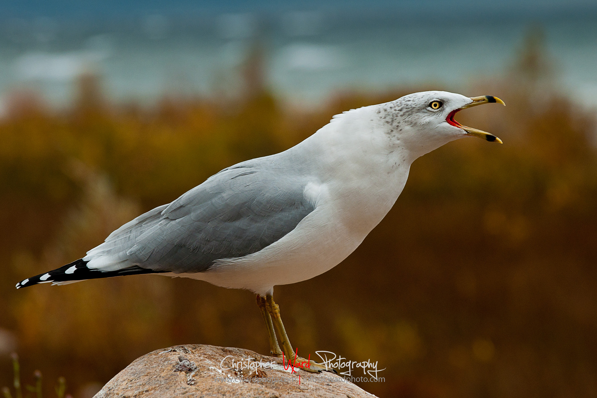Photograph Seagull Cry by Chris Ward on 500px