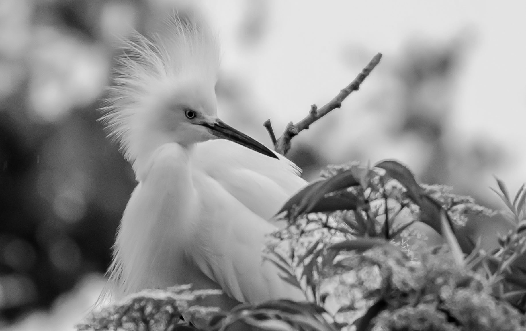 Photograph Snowy Egret in Black and White by Ray Campbell on 500px