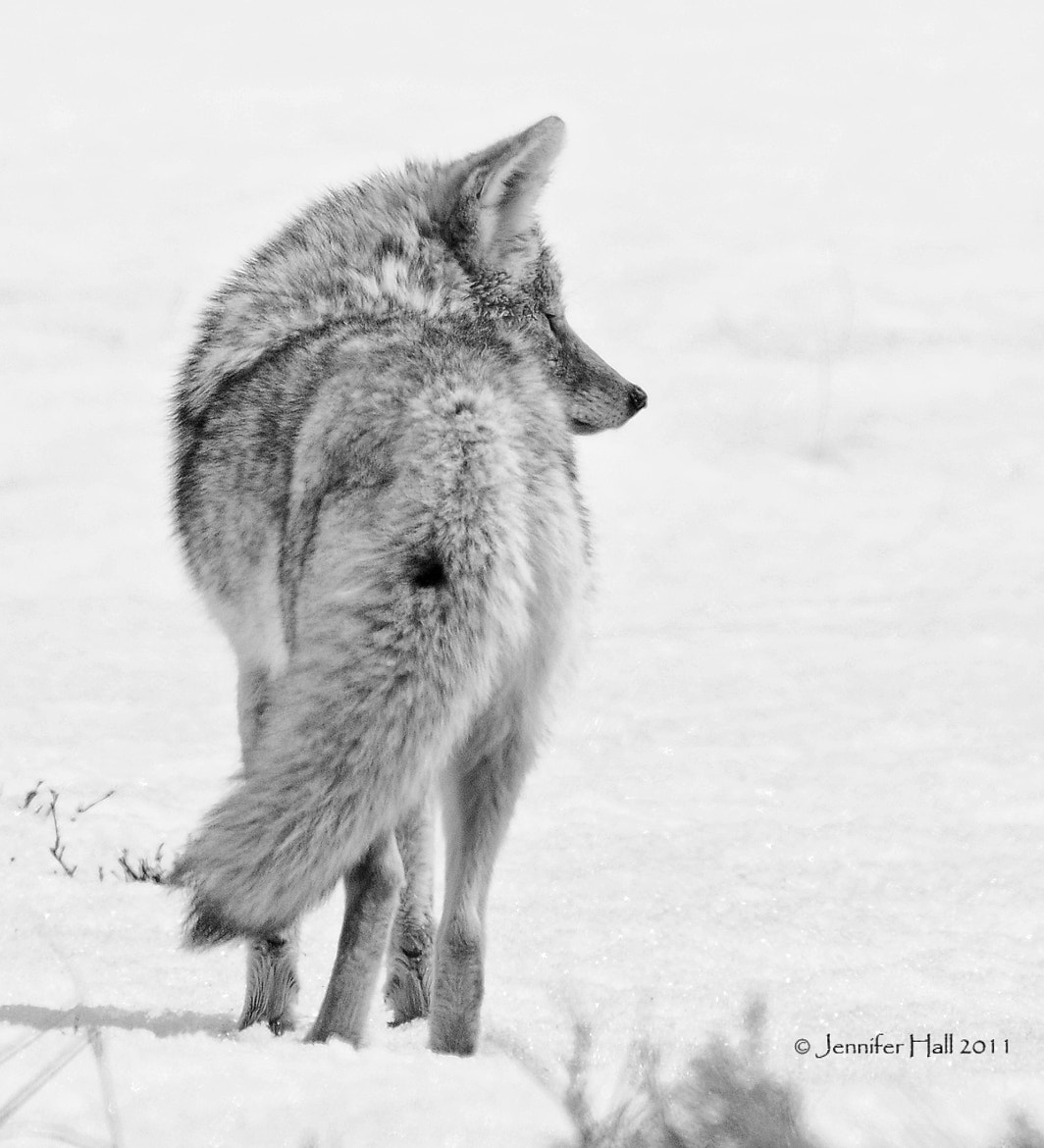 Photograph B&W Coyote Profile by Jen Hall on 500px