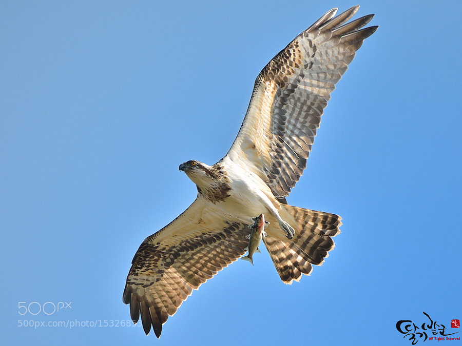 Photograph Osprey by Jung-Rae Cho on 500px