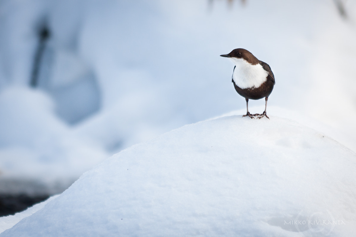 Photograph White-throated Dipper by Mikko Kiviranta on 500px