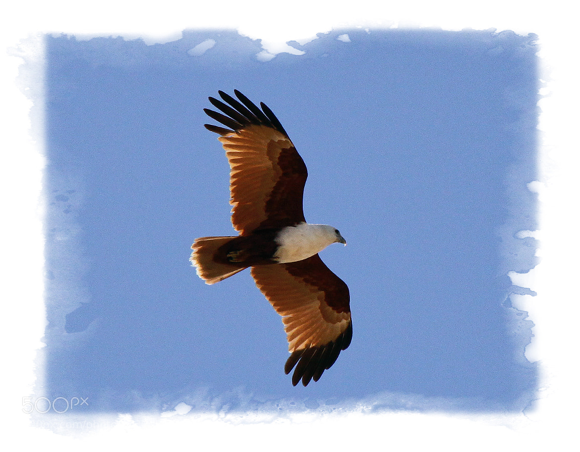 Photograph Raptor in Flight by Mark Hughes on 500px