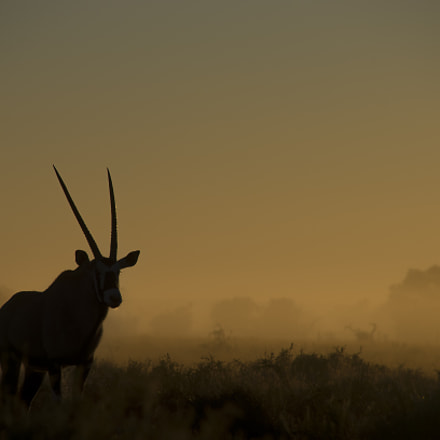 Gemsbok at Dawn, Pentax K-5 II, Sigma 18-250mm F3.5-6.3 DC Macro HSM