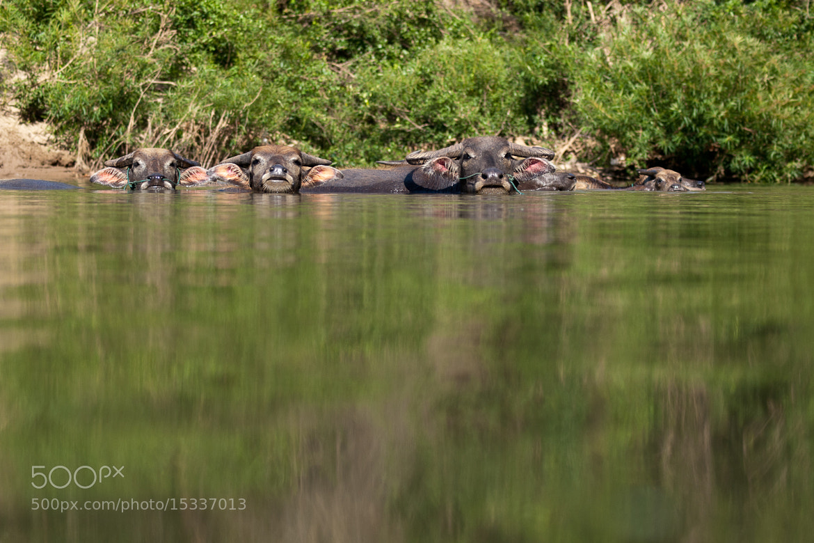 Photograph Water buffalos bathing by Sabelo Jeebe on 500px