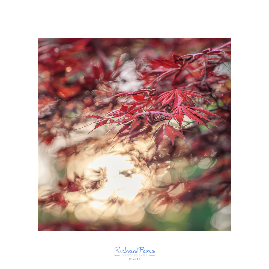 Japanese Maple Bokeh by Richard Paas on 500px.com