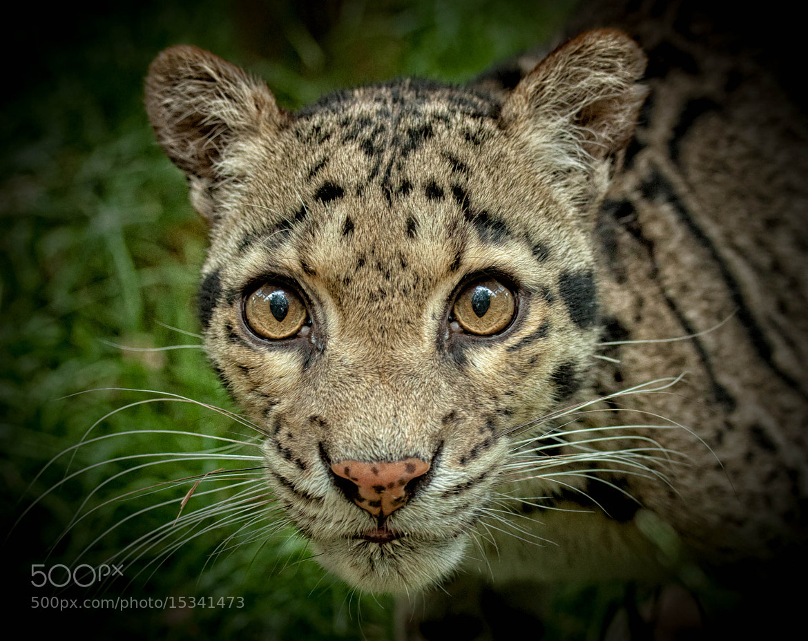 Photograph Clouded Leopard by ZeroPix Photography on 500px