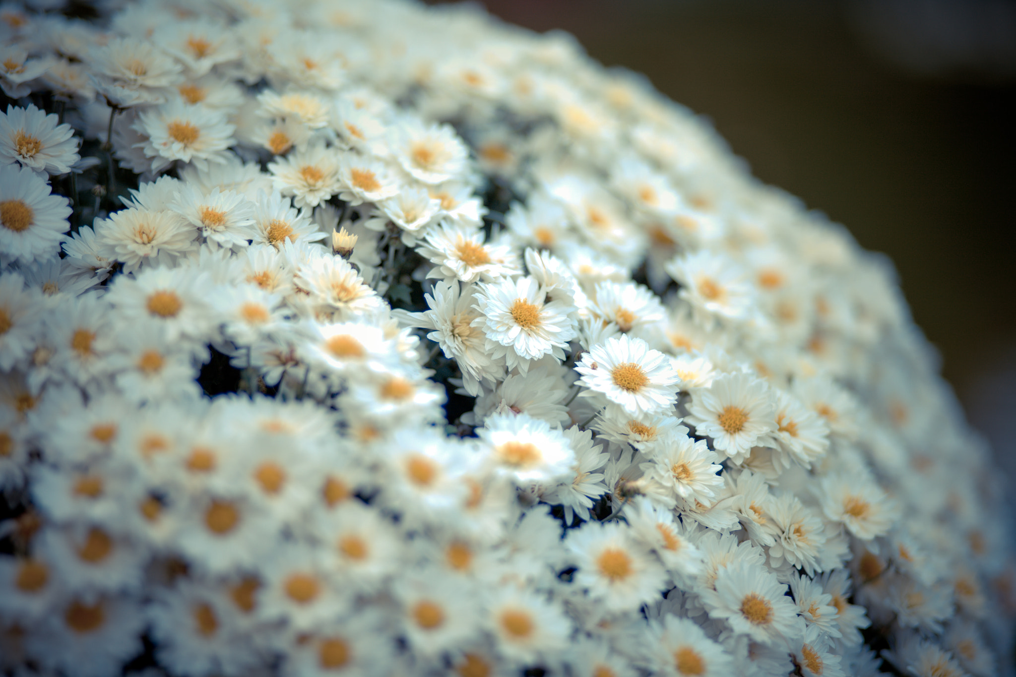 Photograph Chamomile by Marina Chirkova on 500px