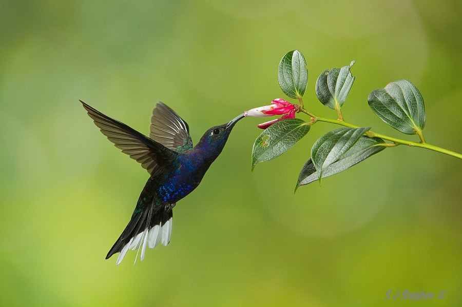 Photograph Male Violet Sabrewing by Stephen Stephen on 500px