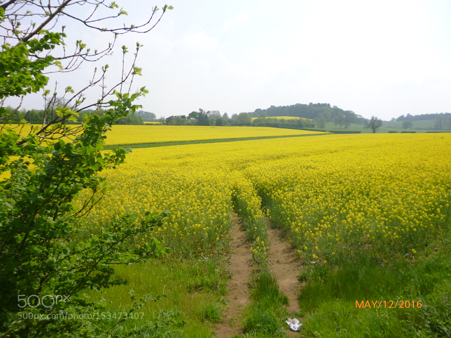 Oilseed rape field, Panasonic DMC-FS18