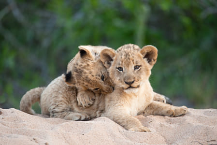 baby animals - Lion Cubs at Play by Janet Weldon on 500px