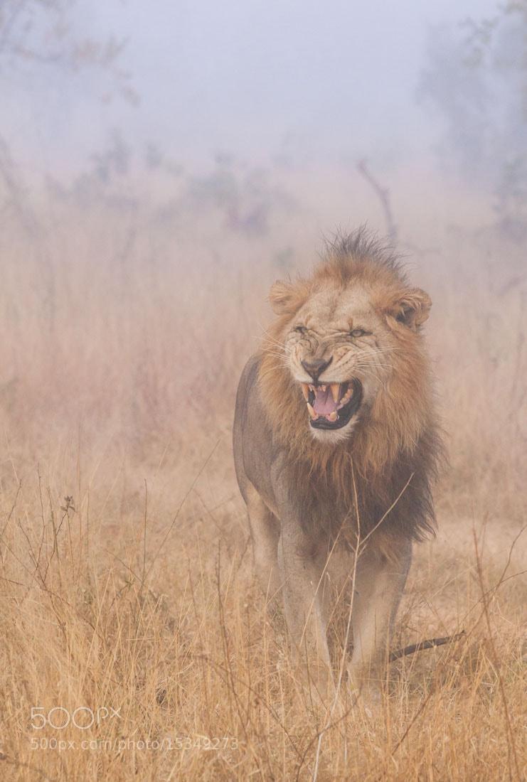 Photograph Lion in the Mist by Marlon du Toit on 500px