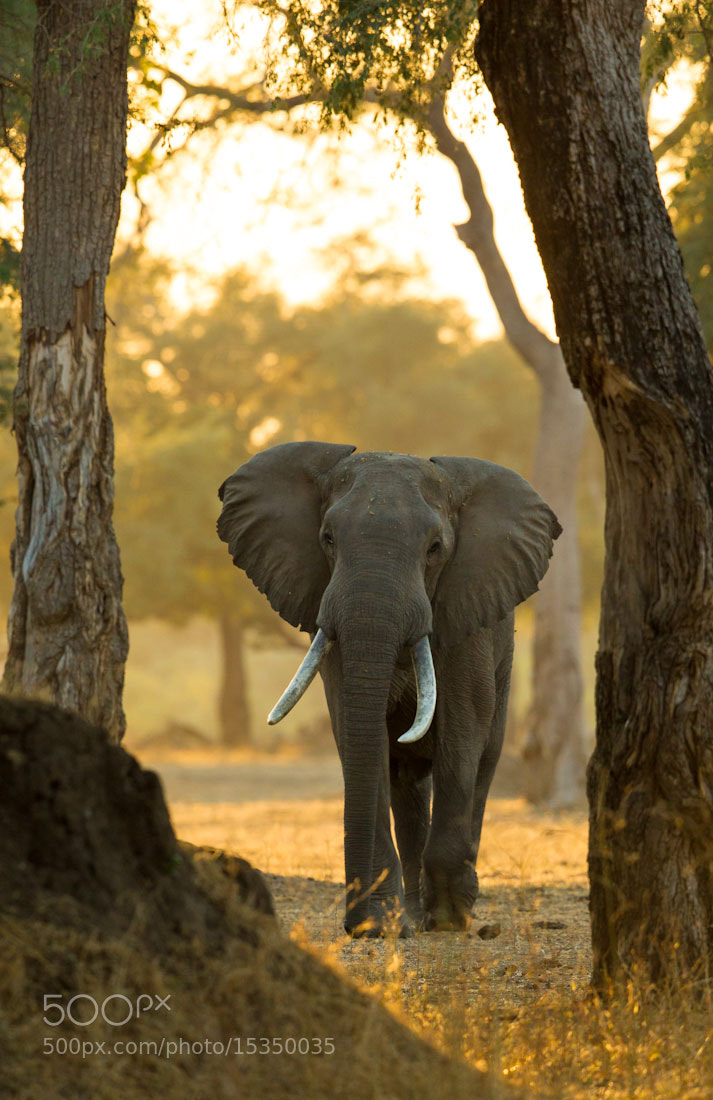 Photograph Forest Giant by Marlon du Toit on 500px