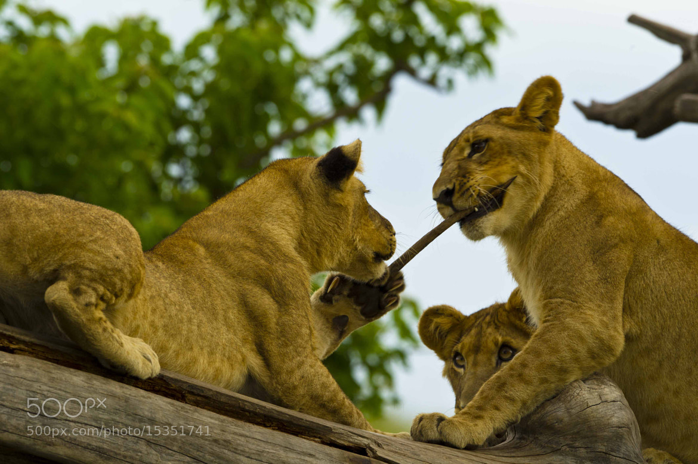 Photograph Playful Cubs by Jitendra Sharma on 500px