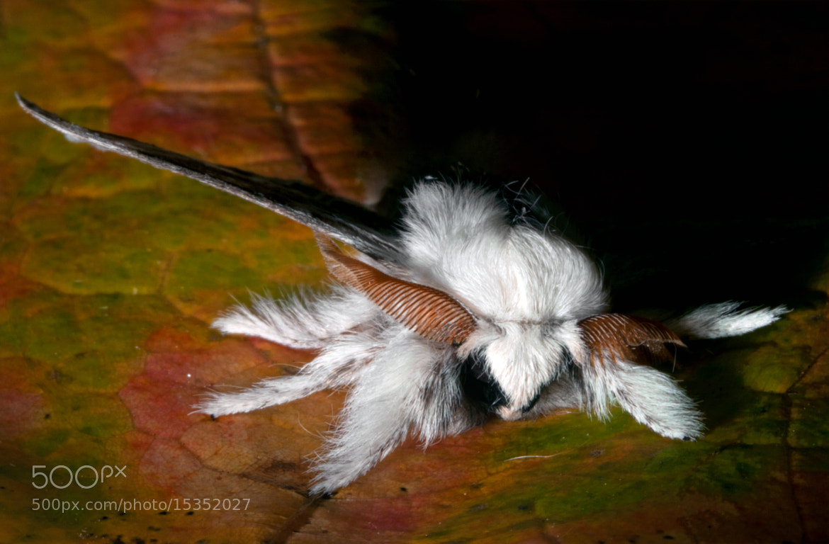 Photograph Tolype Moth (Tolype velleda) 02 by Brian Lee on 500px