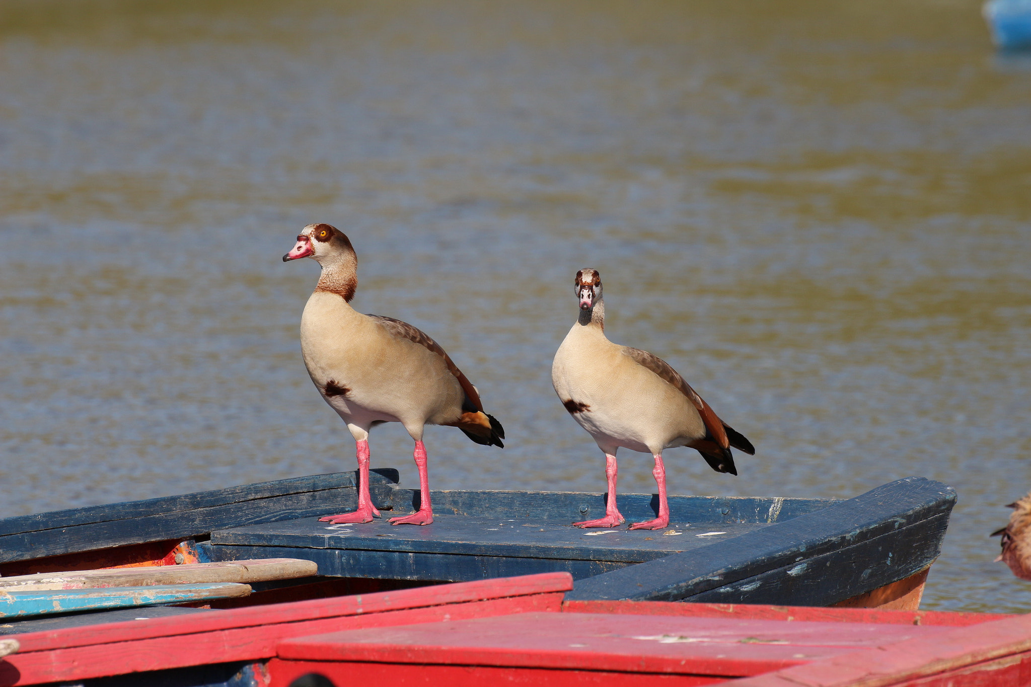 Photograph Egyptian Goose by Photo Mania on 500px