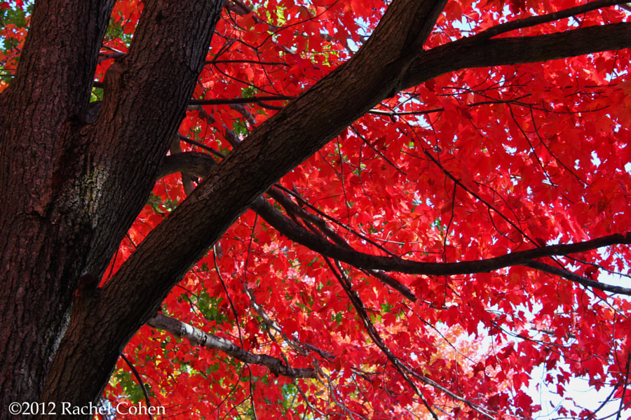"""""""Under the Reds""""  Contrast and beauty among the sugar maple!"""