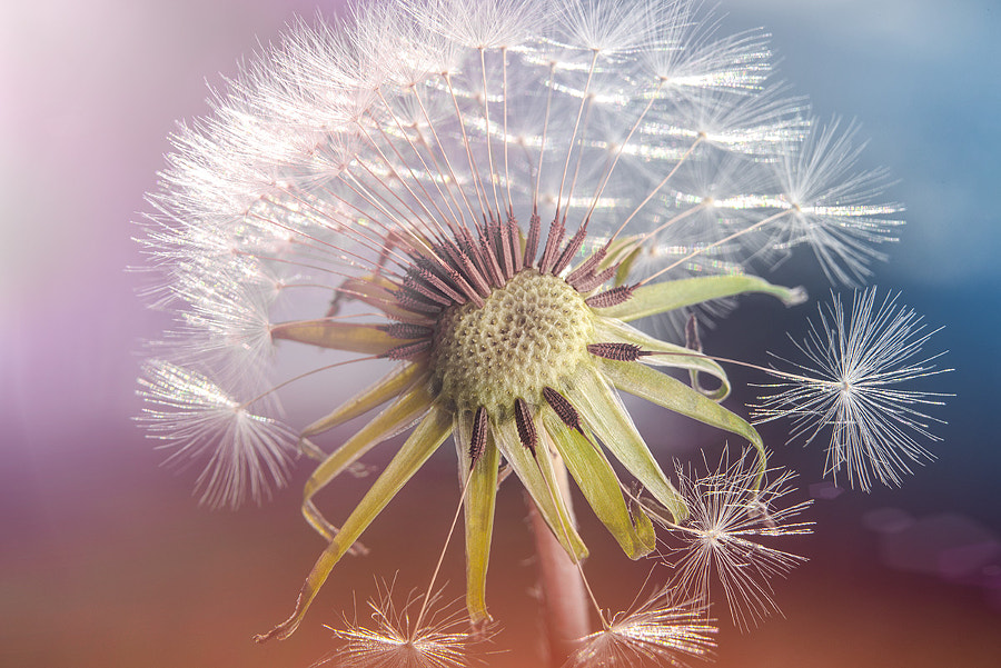A Date with a Dandelion by The Photo Fiend on 500px.com