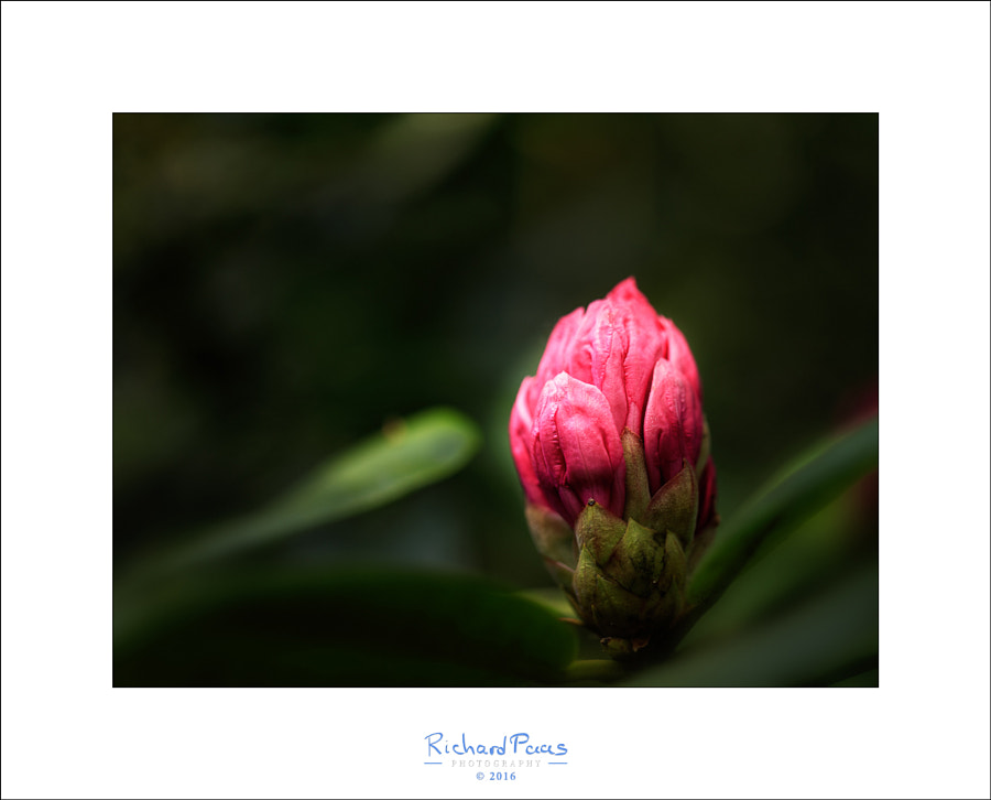 Rhododendron almost ready by Richard Paas on 500px.com