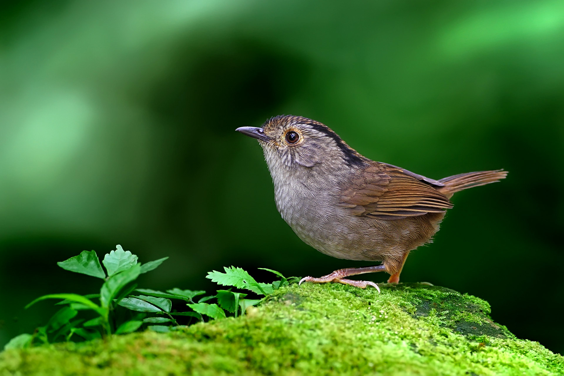 Photograph Dusky Fulvetta by Tommy Chung on 500px