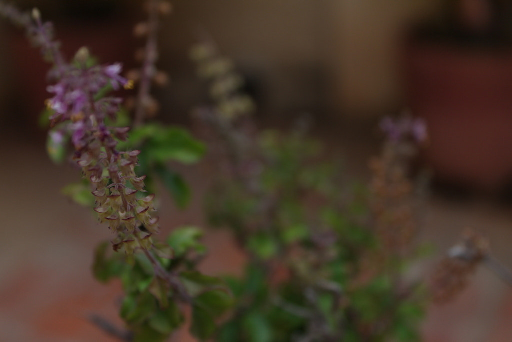 Photograph Tulsi : The Holy Basil by Harish Suresh on 500px