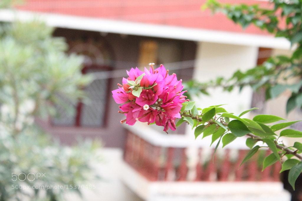 Photograph Bougainvillea by Harish Suresh on 500px