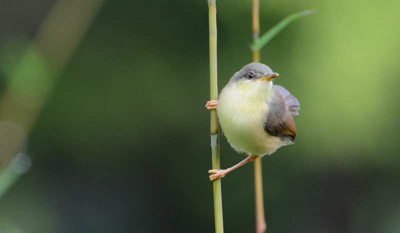 Photograph stare of Prinia  by Mahesh Shenoy on 500px