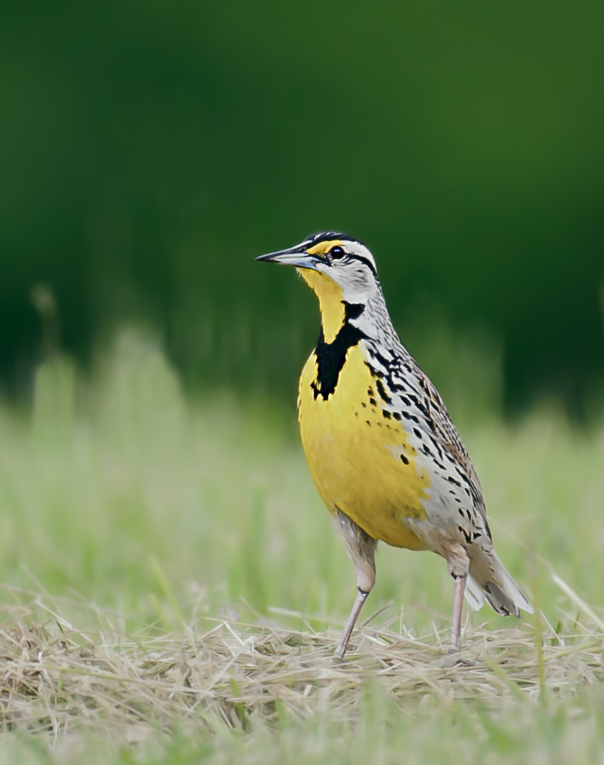 Photograph Eastern Meadowlark by Steven Kersting on 500px