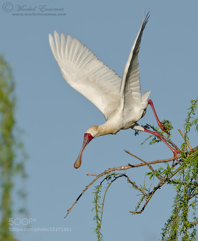 Photograph Launch of the Spoonbill by Morkel Erasmus on 500px