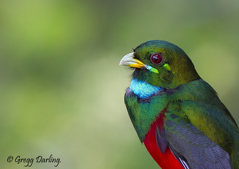 Photograph Male Narina Trogon.  by Gregg Darling on 500px