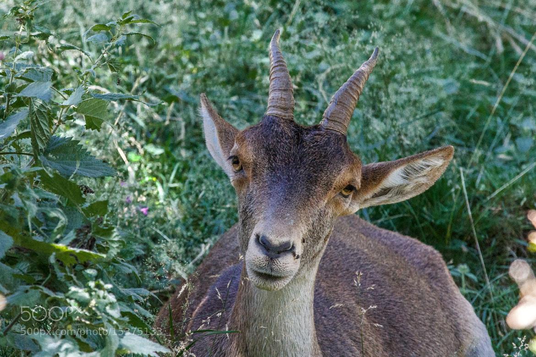 Photograph ibex by Martín Pérez on 500px