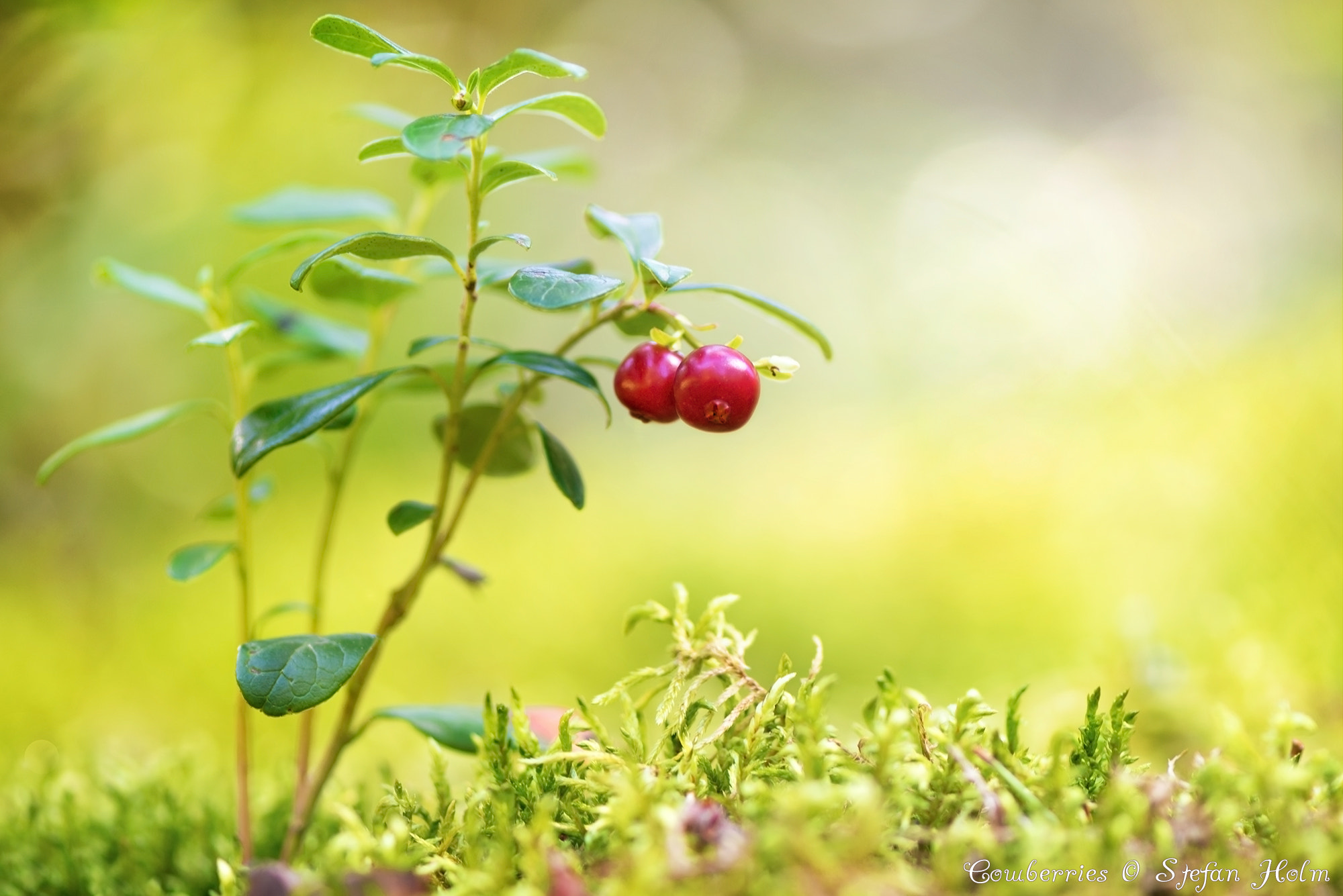 Photograph Cowberries by Stefan Holm on 500px