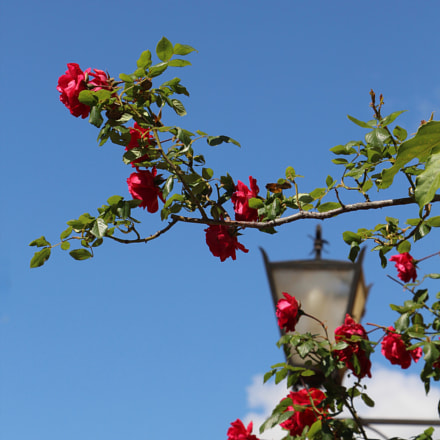 Flying Roses, Canon EOS 1200D