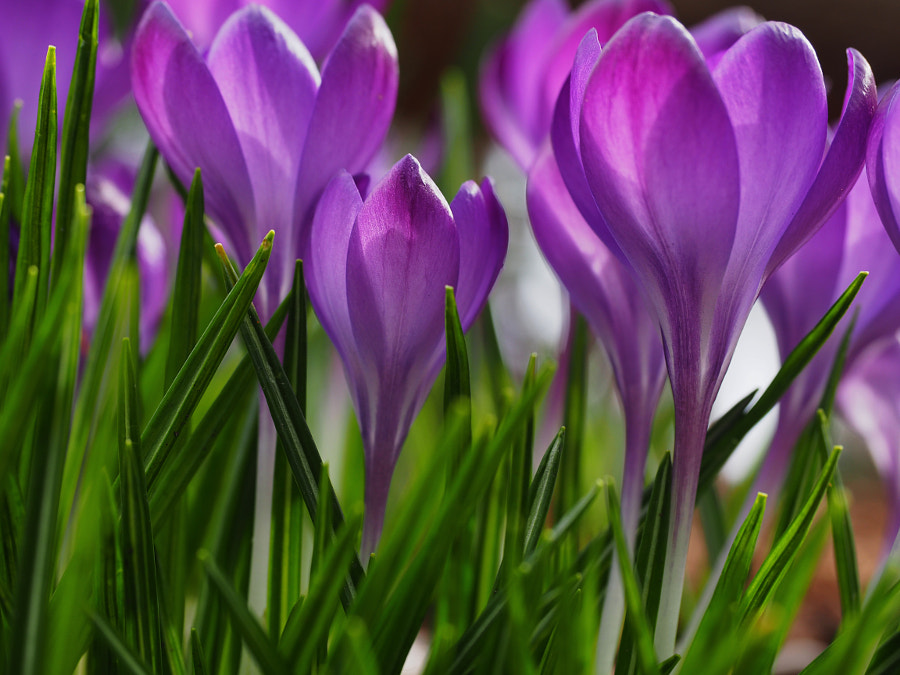 Grass (and some Croci) by Nancy Lundebjerg on 500px.com